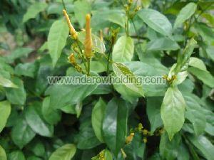 Cryptolepis Sanguinolenta Plant