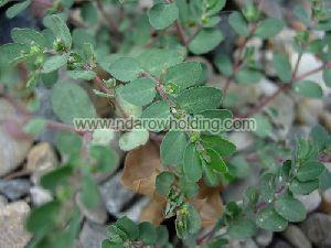 Euphorbia Hirta Plant