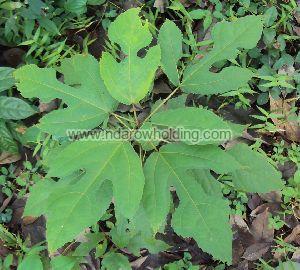 Ficus Exasperata Plant