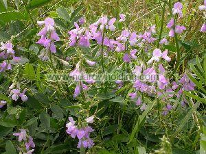 Galega Officinalis Plant