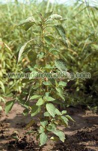 Hyptis Spicigera Plant