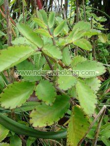 Kalanchoe Crenata Plant