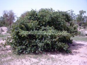 Kinkeliba Plant