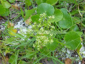 Large Leaf Pennywort Plant