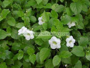 Momordica Cissoides Plant
