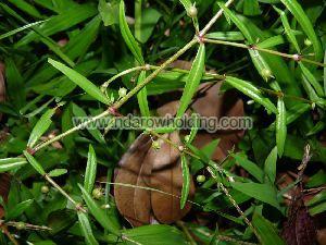 Oldenlandia Lancifolia Plant