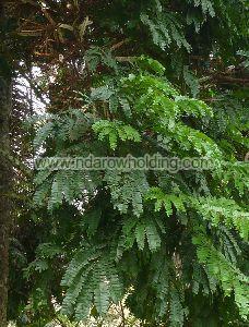 Pentaclethra Macrophylla Plant