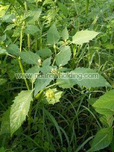 Physalis Angulata Plant