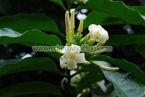 Picralima Nitida Plant