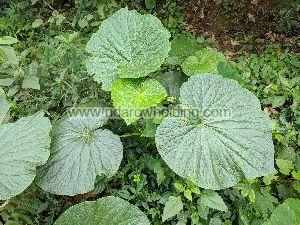 Piper Umbellatum Plant