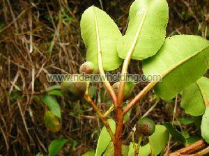 Prunus Africana Plant
