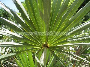 Saw Palmetto Plant
