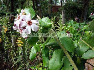 Strophanthus Gratus Plant