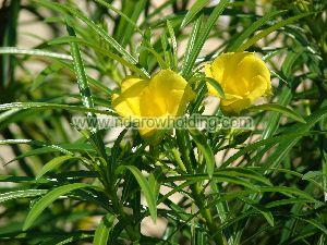 Thevetia Neriifolia Plant