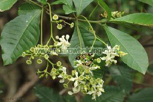 Voacanga Africana Plant