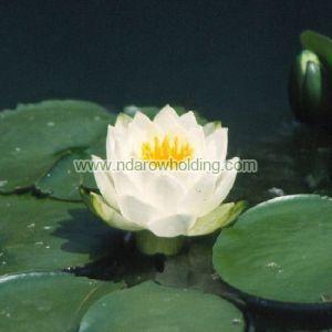 White Waterlily Plant