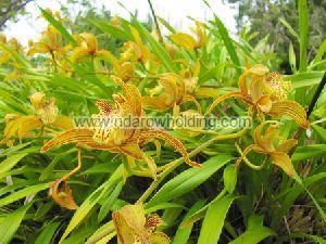Yellow Cinchona Plant