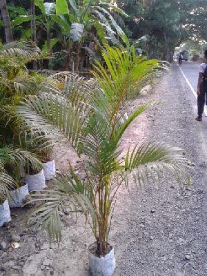 Arika Palm