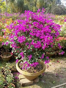 Bougainvellia Plants