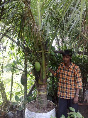 Coconut dwarf