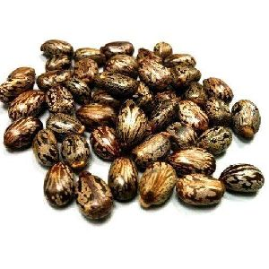 Dried Castor Seeds