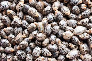 Organic Castor Seeds