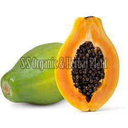 Carica Papaya Plant