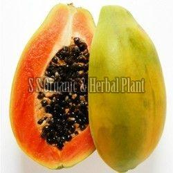 Fresh Organic Papaya Plant
