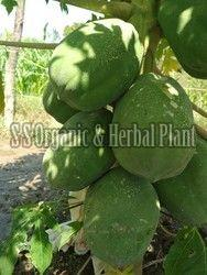 Green Papaya Plant