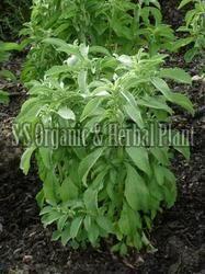 Herbal Stevia Plant