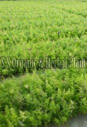 Natural Shatavari Plant