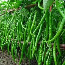Hybrid Green Chilli