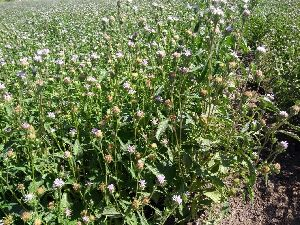 Purple fleabane Seed