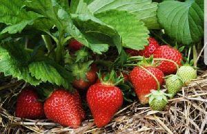 Kamila Strawberry Plant