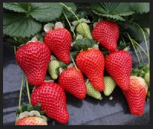 Nabila Strawberry Plant