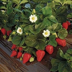 Strawberry Mother Plant