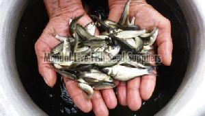 Grey Mullet Fish Seed