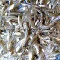 Pabda Fish Seed