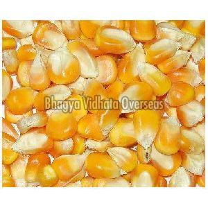 Loose Maize Seeds