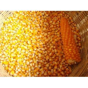 Pure Yellow Maize