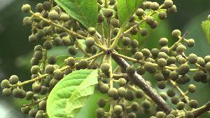 Vidanga Embelia Ribes 02