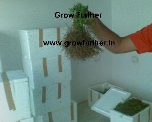 Stevia Plants 01