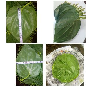 Green Betel Leaves