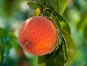 Early Grand Peach
