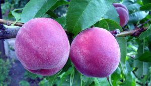 Purple Peach