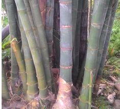 Assam Green Bamboo