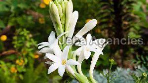 Fresh Sampangi Flowers