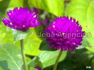 Fresh Vadamalli Flowers