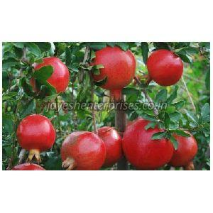 Indian Red Pomegranate