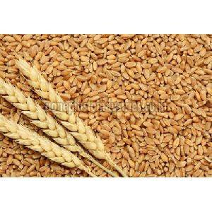 Raj 3077 Wheat Seeds